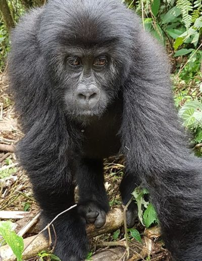 gorilla conservation project 12