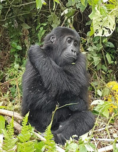 gorilla conservation project 8