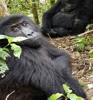 family of Gorillas in Congo supported by our conservation project